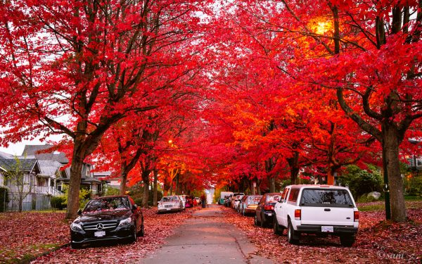 """Image result for maple tree vancouver"""""""